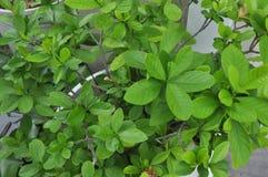 Folhas da flor Imagens de Stock Royalty Free