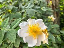 Folhas da flor branca e do verde na jarda Feche acima do tiro Fotos de Stock