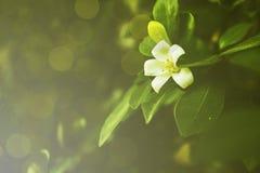 Folhas da flor branca e do verde no fundo verde do bokeh Imagens de Stock Royalty Free