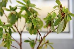 Folhas da flor da azálea Foto de Stock Royalty Free