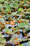 Folhas da flor de lótus na lagoa Imagem de Stock