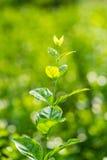 Folhas da flor do jasmim Foto de Stock Royalty Free