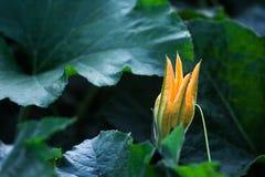 Folhas da flor e do verde do amarelo do pepo do Cucurbita do abobrinha Fim acima Zucchini de florescência no jardim vegetal Flor  Imagem de Stock Royalty Free