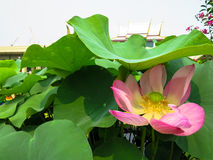Folhas da flor e do verde de lótus do rosa da flor completa no flowe da porcelana Foto de Stock Royalty Free