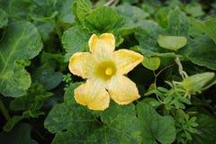Folhas da flor e do verde do amarelo do abobrinha (pepo do Cucurbita) Flor Fotografia de Stock
