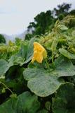 Folhas da flor e do verde do amarelo do abobrinha (pepo do Cucurbita) Flor Fotos de Stock Royalty Free
