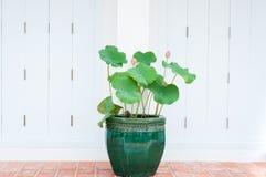 Folhas da flor em botão e do verde de Lotus que crescem em um potenciômetro de flor Imagem de Stock Royalty Free