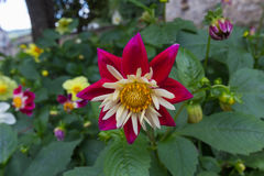 Folhas da flor vermelha e branca e do verde Fotos de Stock Royalty Free