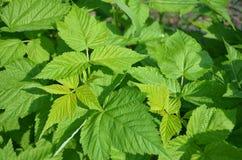 Folhas da framboesa Fotografia de Stock
