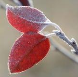 Folhas da geada Imagem de Stock