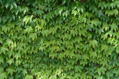 Folhas da hera foto de stock