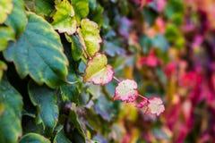 Folhas da hera em cores da queda Parede com hera do montanhista Fotos de Stock Royalty Free