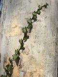 Folhas da hera em um tronco de árvore Foto de Stock Royalty Free