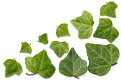 Folhas da hera isoladas em um fundo branco Vista superior Imagem de Stock