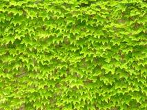 Folhas da hera na parede Imagem de Stock Royalty Free