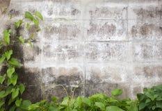 Folhas da hera na parede de tijolo velha Fotografia de Stock