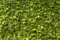 Folhas da hera na parede, fundo Fotografia de Stock