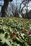 Folhas da hera na terra imagem de stock