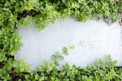 Folhas da hera no assoalho do tijolo Fotos de Stock