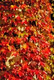 Folhas da hera no outono Imagem de Stock Royalty Free