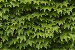Folhas da hera que crescem na parede fotografia de stock royalty free