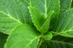 Folhas da hortênsia fotografia de stock