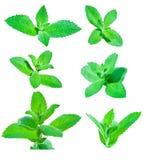 Folhas da hortelã Fotografia de Stock Royalty Free