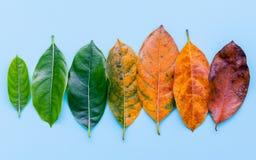Folhas da idade diferente da árvore de fruto do jaque no backg de madeira branco Imagens de Stock