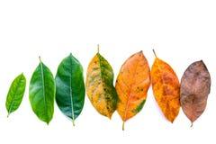 Folhas da idade diferente da árvore de fruto do jaque no backg de madeira branco Fotos de Stock