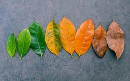 Folhas da idade diferente da árvore de fruto do jaque no backgro de pedra escuro Imagens de Stock