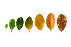 Folhas da idade diferente da árvore de fruto do jaque no fundo branco c Fotos de Stock Royalty Free
