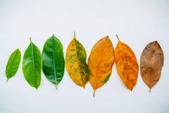 Folhas da idade diferente da árvore de fruto do jaque no backg de madeira branco Imagem de Stock