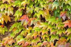 Folhas da laranja e do verde Foto de Stock