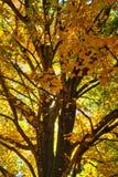 Folhas da laranja nas árvores Foto de Stock