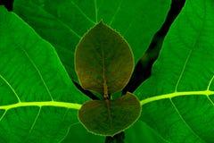 Folhas da madeira da teca Fotografia de Stock