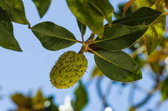 Folhas da magnólia no verão Foto de Stock Royalty Free