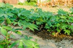 Folhas da mandioca Fotografia de Stock