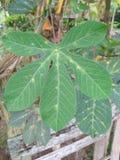 Folhas da mandioca Imagem de Stock