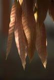 Folhas da manga imagens de stock