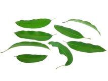 Folhas da manga isoladas no fundo branco Fotos de Stock