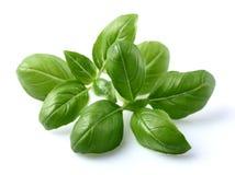 Folhas da manjericão Imagem de Stock