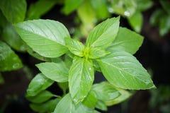 Folhas da manjericão doce Imagem de Stock Royalty Free