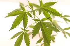 Folhas da marijuana fotografia de stock