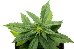Folhas da marijuana foto de stock