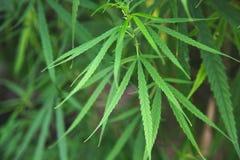 Folhas da marijuana da planta, fotografia de stock