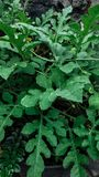 Folhas da melancia foto de stock