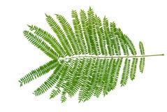 Folhas da mimosa Fotos de Stock