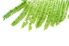 Folhas da mimosa Imagens de Stock