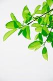 Folhas da mola Imagem de Stock