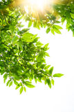 Folhas da mola da árvore branca do magnolia Imagem de Stock